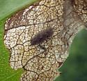 Full-depth tip mine on aster, w larva