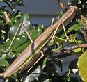Mantid - Tenodera angustipennis - female