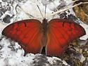 Which Anaea species? - Anaea aidea - male