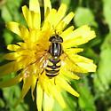 Eristalini 01a - Helophilus fasciatus