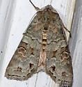 Moth 299 - Egira alternans