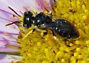 Orange County Bees & Wasps #136 - Calliopsis rhodophila - male