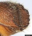 Orthotomicus erosus - female
