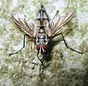 Tachinid Fly  - Zelia vertebrata - male