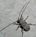 Ecyrus dasycerus