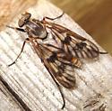 Common Snipe Fly? - Rhagio mystaceus - female