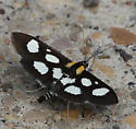Some kind of Spotted Moth  - Anania funebris