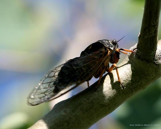 Cicada - Okanagana canadensis