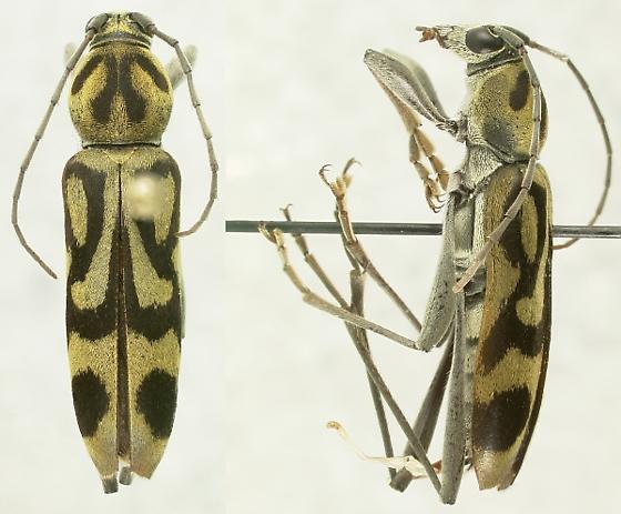 Chlorophorus annularis (Fabricius)