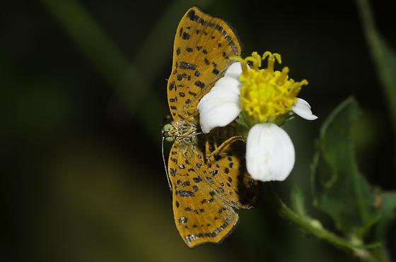 Red-bordered Metalmark - Caria ino - female