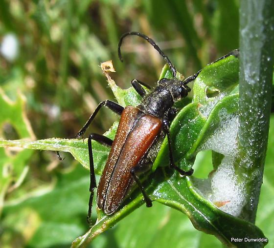 Perhaps in Chrysomeloidea? - Stenocorus vestitus