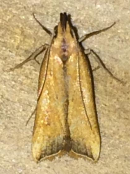 Dichomeris heriguronis