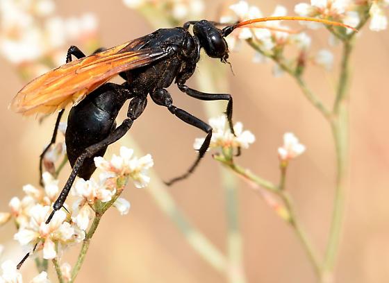 Cresson's Spider Wasp - Entypus unifasciatus