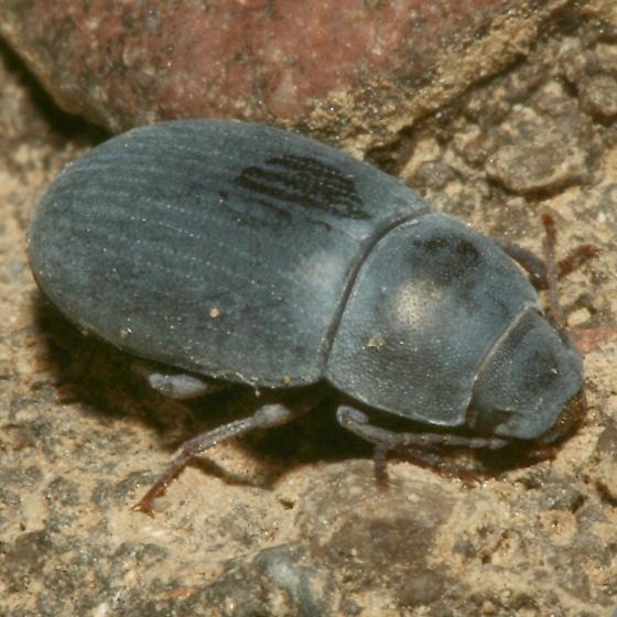 Beetle - Steriphanus