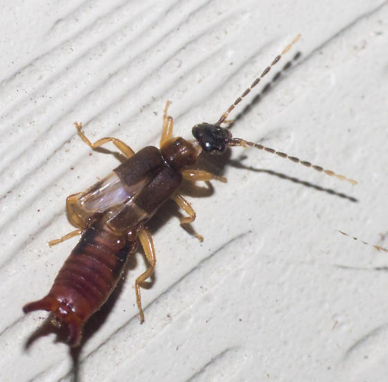 Reddish earwig - Labia minor