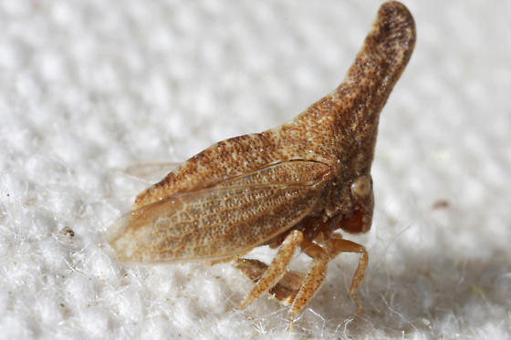 Philya cf. californiensis ? - Philya californiensis