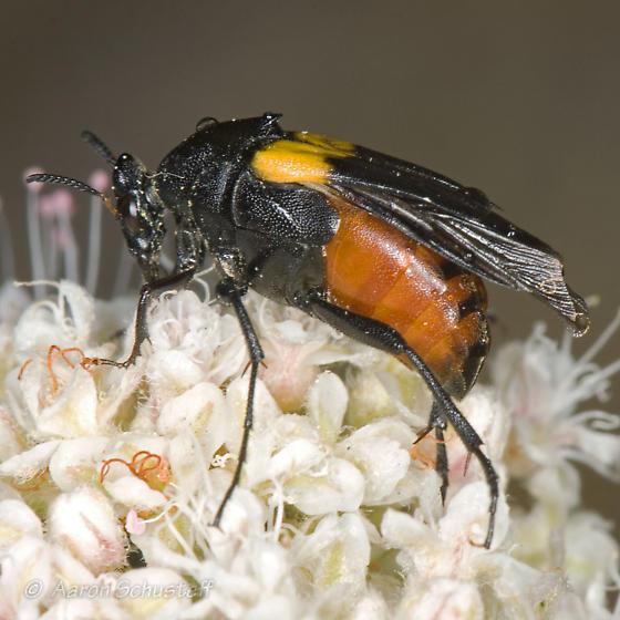 Female Macrosiagon 2 - Macrosiagon flavipennis - female