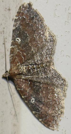 The Gem - Hodges#7414 - Orthonama obstipata