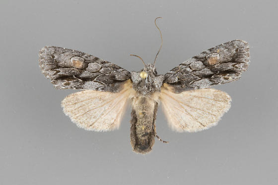 Noctuid moth Lithophane nasar - Lithophane nasar - female