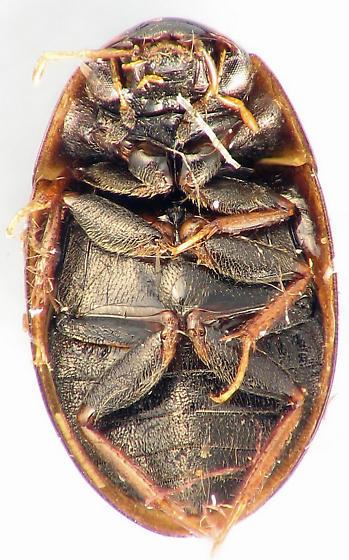 Enochrus sp. - Enochrus ochraceus
