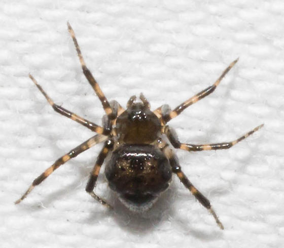 Gray-edged spider