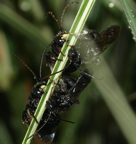 Congregation on a blade - Melissodes bimaculatus - male