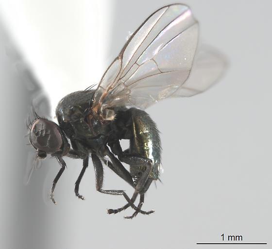 Acalyptrate fly - Sepsidae? - Melanagromyza