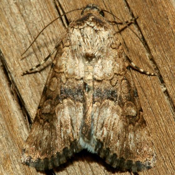 Moth - Sympistis occata