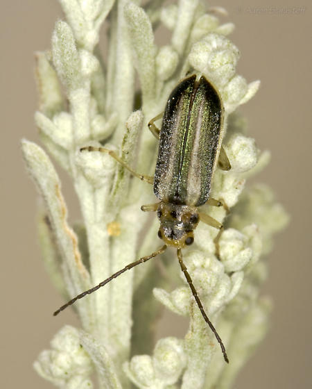 New subspecies (vittata) for BG from eastside of the Sierra Nevada - Trirhabda pilosa