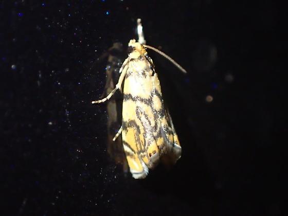 Chiricahua moth  - Diptychophora harlequinalis