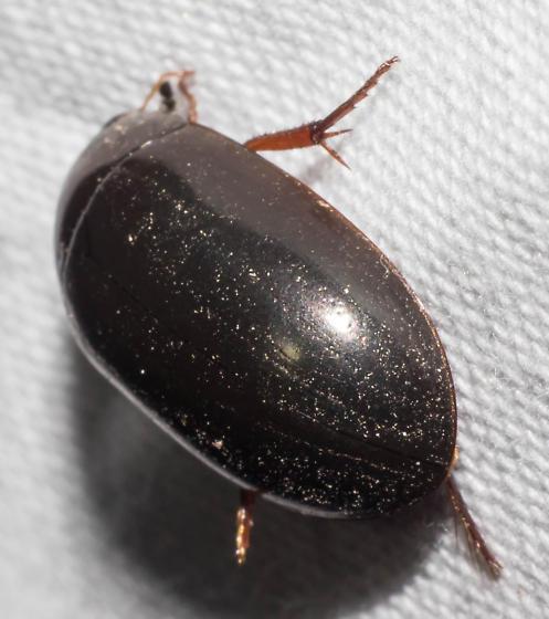 Ellipsoidal beetle