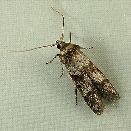 2140 Asaphocrita (Holcocera) aphidiella 1171 - Asaphocrita aphidiella