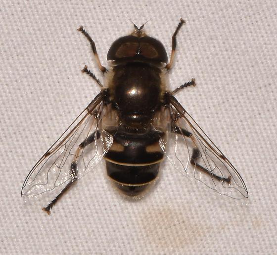 fly042619b - Eristalis dimidiata - male