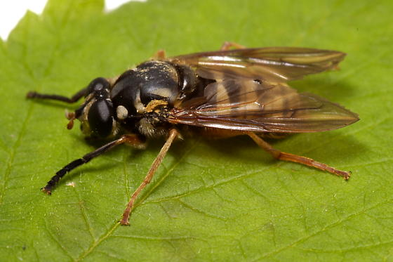 Syrphid Fly - Temnostoma excentrica - female
