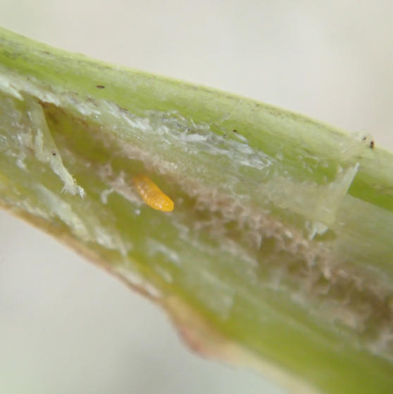 Stem gall - Neolasioptera