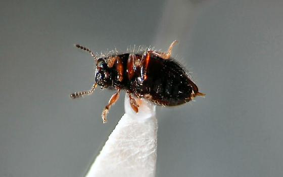 Odd little beetle - Lioligus nitidus