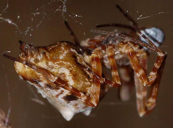 Spider - Philoponella oweni - female