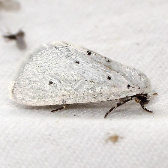 White w/ spots - Grotella blanca