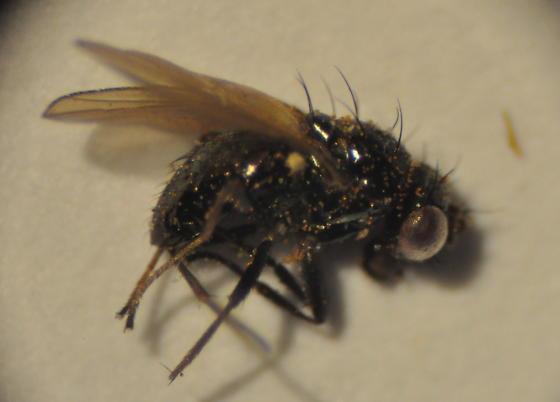 Camillidae - Camilla atrimana
