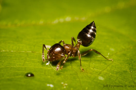 Acrobat Ant drinking from a water drop - Crematogaster