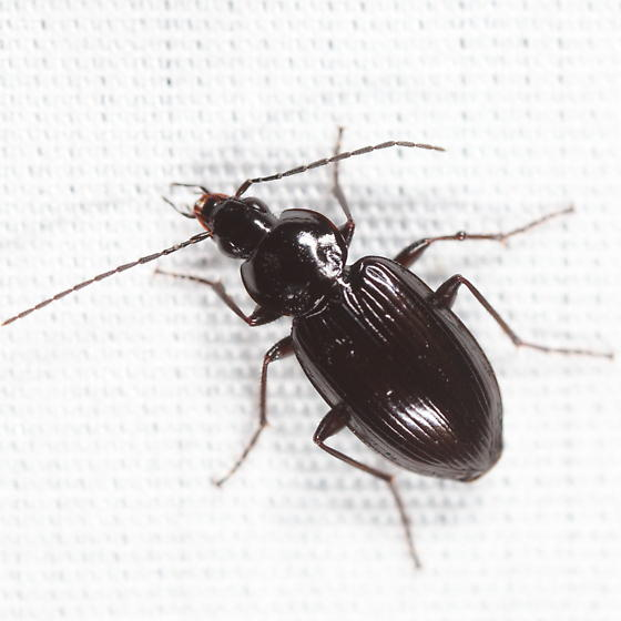 Sheet beetle - Agonum