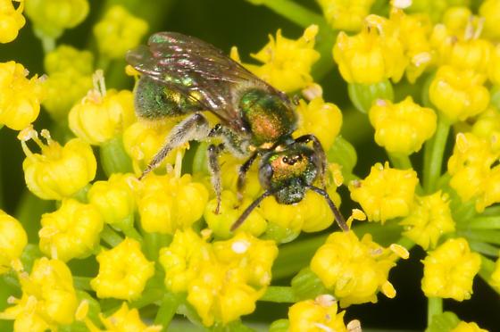 Augochloropsis metalica - Augochlorella