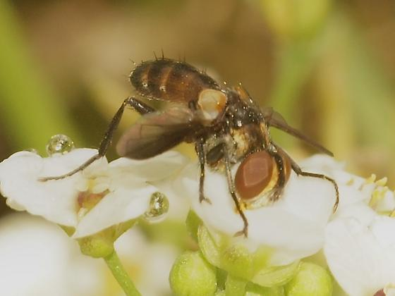 Syrphidae? 4 - Xanthomelanodes