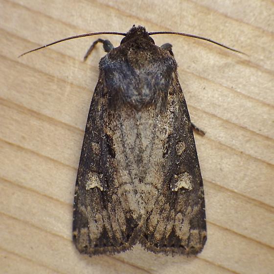 Noctuidae: Resapamea passer - Resapamea passer