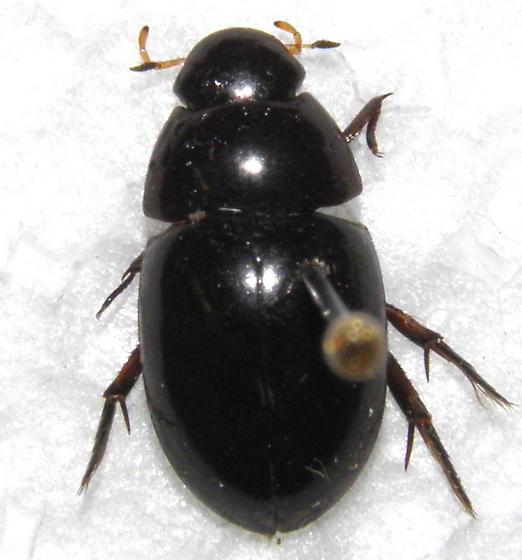 Small Hydrophilid - Tropisternus ellipticus