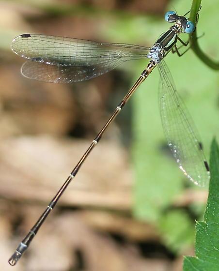 Lestidae - Lestes rectangularis - male
