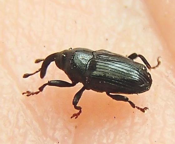Weevil - Ampeloglypter ampelopsis - male
