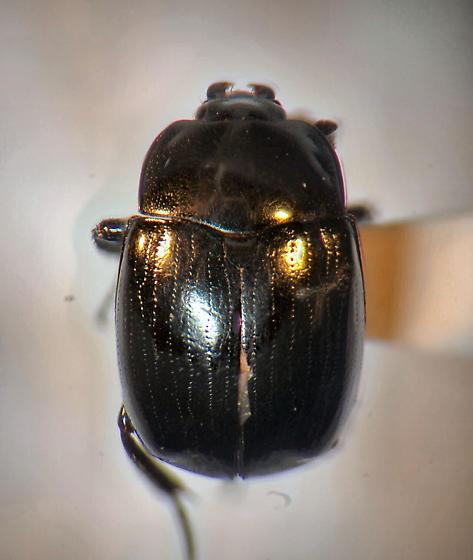False Clown Beetle? - Sphaerites politus