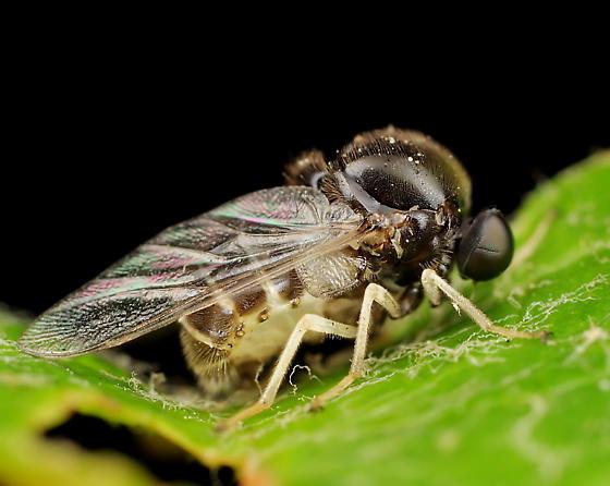 Diptera - Ogcodes borealis