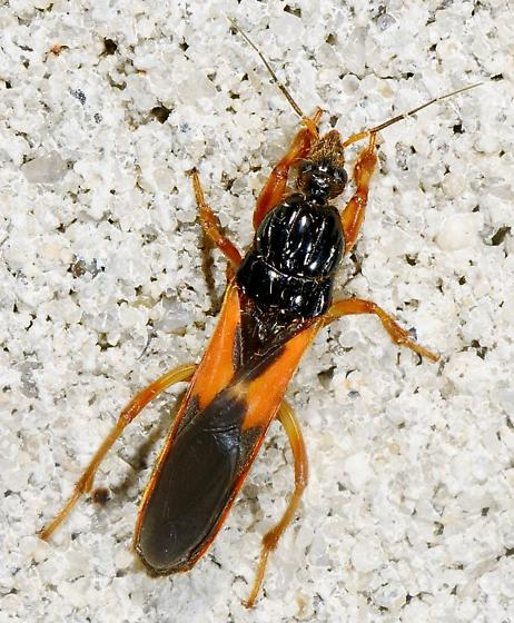 Assain Bug Maybe - Sirthenea carinata